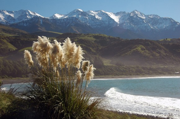 Toetoe grass, native to the New Zealand South Island's east coast, blows in the wind. In the distance is the Seaward Kaikoura Range. Photo credit: Fes de Scally