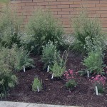 A picture of the Reichwald Health Sciences Centre South-side Plant Bed, which Gardening Club members Maureen David designed and Casey Hamilton planted.