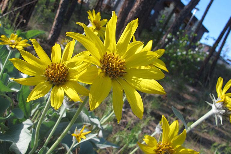 An arrow-leaved balsamroot plant, the Okanagan's native 'sunflower'.