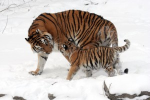 Sungari, an Amur tiger, with one of her cubs at the Buffalo Zoo. The world's captive Amur tiger population may be an important reservoir of gene variants that have been lost in the wild population. (Photo by Dave Pape)