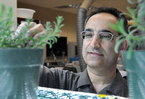 Biologist Dr. Soheil Mahmoud is studying the genetic content of lavender cells to better understand how the plant produces its valuable scented oils.