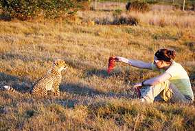 Brooke Bailey feeds a young  cheetah while volunteering in Africa this summer