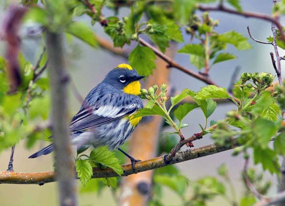A yellow-rumped warbler