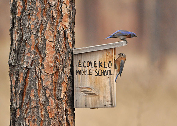 A male and female western bluebird pair check out a likely prospect in the ponderosa pine forest at UBC's Okanagan campus, as seen in the Birds of the UBC Okanagan Campus 2015. Photo credit: Ian Walker