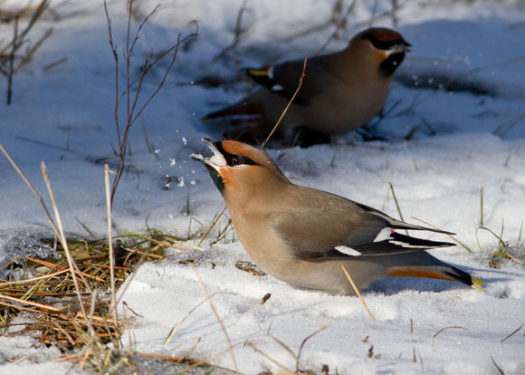 Bohemian waxwings need to eat snow to wash down their sugar-rich diet of berries, as seen in the Birds of the UBC Okanagan Campus 2015. Photo credit: Bob Lalonde