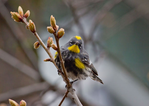 A yellow rumped warbler forages in the campus oaks, as seen in the Birds of the UBC Okanagan Campus 2015. Photo credit: Bob Lalonde
