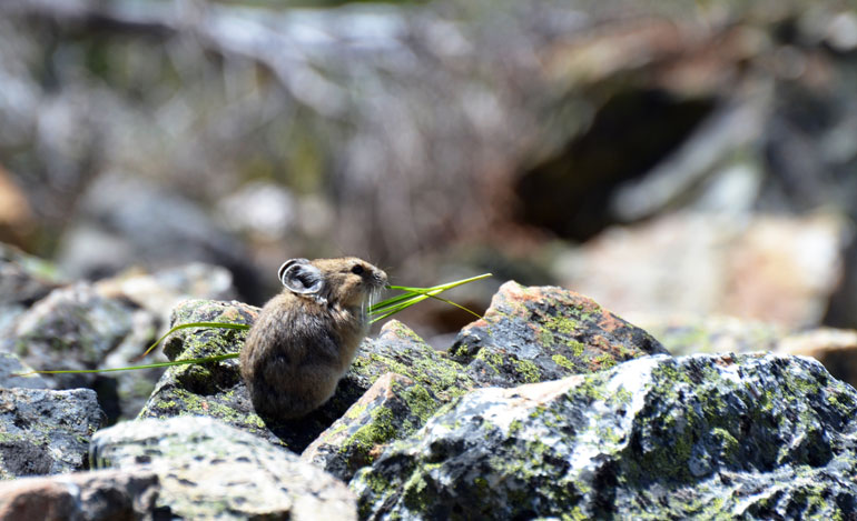 An elusive and climate-sensitive American pika (Ochotona princeps) foraging.  Image Credit: Philippe Henry, CC BY 4.0