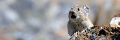 An elusive and climate-sensitive American pika (Ochotona princeps) calling. Image Credit: Philippe Henry, CC BY 4.0