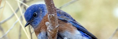 Western bluebirds are often spotted at UBC Okanagan's campus.