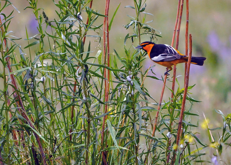 A Bullock's oriole perches on some willows at UBC's Okanagan campus. The Birds of the UBC Okanagan Campus 2016 Calendar is available for $20 at the UBC Okanagan Bookstore (Administration Building).