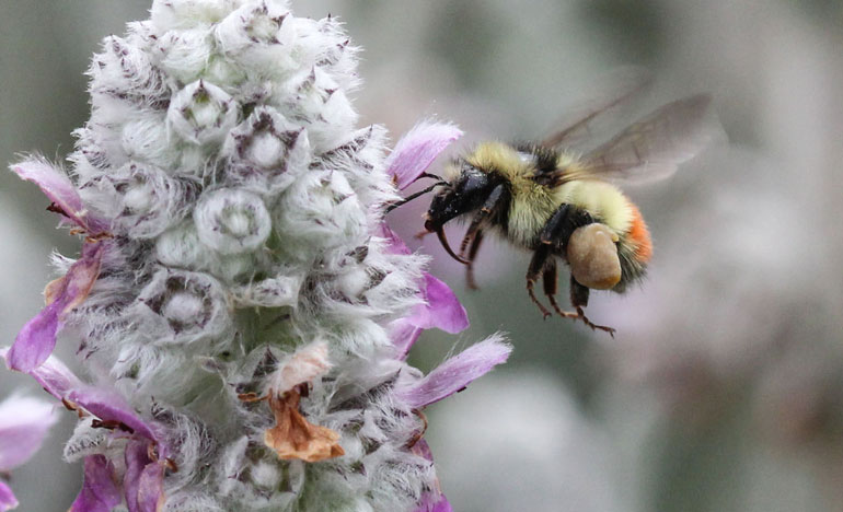 The health of bumble bee populations, and all pollinators, will be discussed at the Public Art Pollinator Pasture Project Tuesday, January 12 at the Kelowna branch of the Okanagan Regional Library. Photo by: UBC Assoc. Prof. Bob Lalonde.