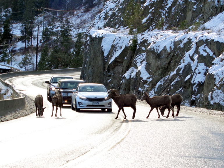 Bighorn sheep like steep rocky terrain, a habit often intersected by highways. Photo by Tanis Gieselman, with the Okanagan Collaborative Conservation Program.