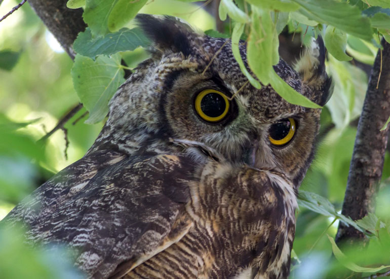 The great horned owl's food supply of northern hare may become scarce as global warming continues. Bob Lalonde photo.