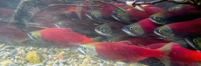 New genetic markers in sockeye salmon that can help improve management of fish populations. Photo credit: Kyle Hawes