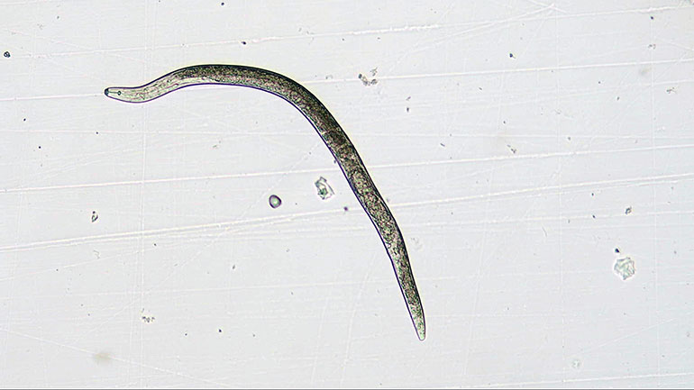 A microscopic image of the plant-parasitic nematode which can cause replant disease in cherry trees. (photo courtesy of Tristan Watson)