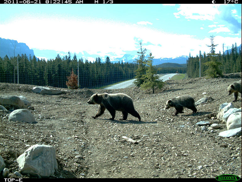 A screen shot from Banff's Temple overpass shows a female grizzly escorting her cubs across the Trans-Canada Highway.