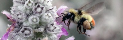 UBC is hosting a bee ambassador info night to help people create pollen trails to benefit the bee population