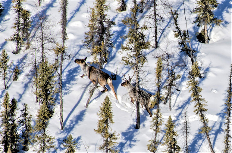 Caribou on the move in British Columbia.