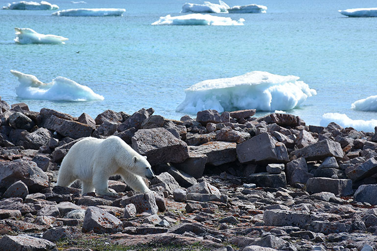 Polar bears are listed as a species of 'special concern' in Canada. Their numbers are declining from the combination of losing habitat and feeding opportunities related to climate change. (Evan Richardson photo)