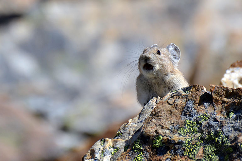 An American pika sounding the alarm (Photo credit: Philippe Henry)