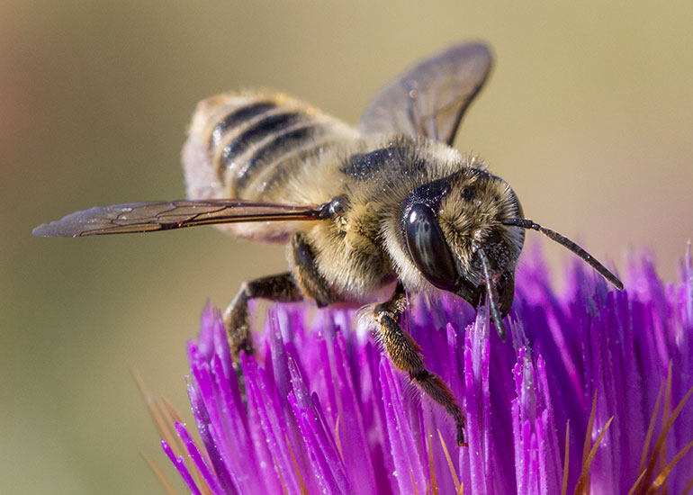 "Leafcutters are part of the third largest family, Megachilidae, along with the ""super pollinators"" of fruit trees, mason bees. Photo by Bob Lalonde."