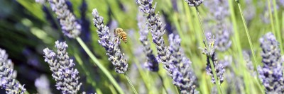 Lavender is known for its purple colour and pleasant aroma.
