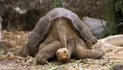 Lonesome George was the famed last representative of a giant tortoise species once found on the Galapagos island of Pinta