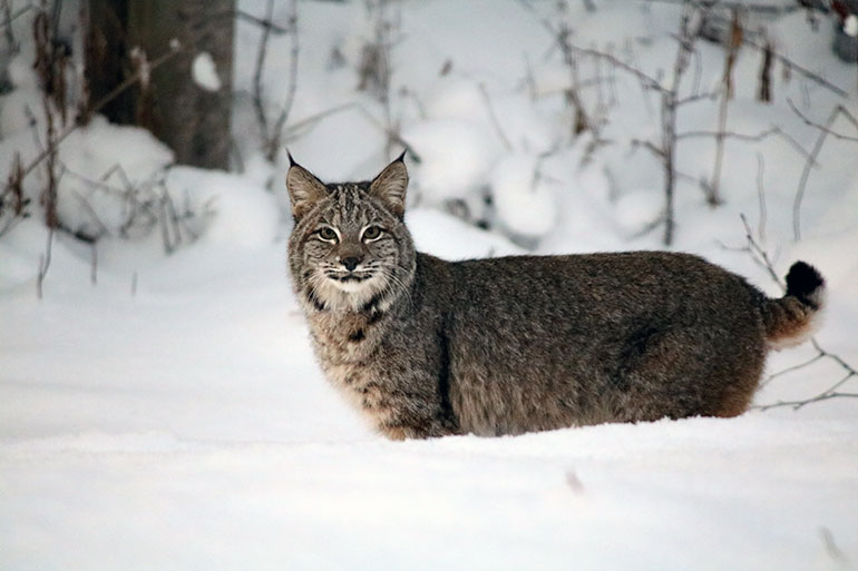 Is it a bobcat or a lynx? Even experts, when using publicly-submitted images, have trouble telling the two wildcats apart. Photo credit: James Gagnon.