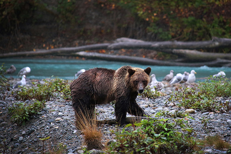 Grizzly bear - Genetic tagging can be an economical, ethical tool