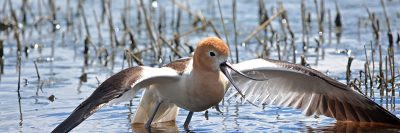 The American avocet is one of many birds that can be spotted around UBCO's campus.