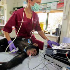 Chimpanzee echocardiogram being performed by Aimee Drane from the International Primate Heart Project. Photo courtesy of Robert Shave.