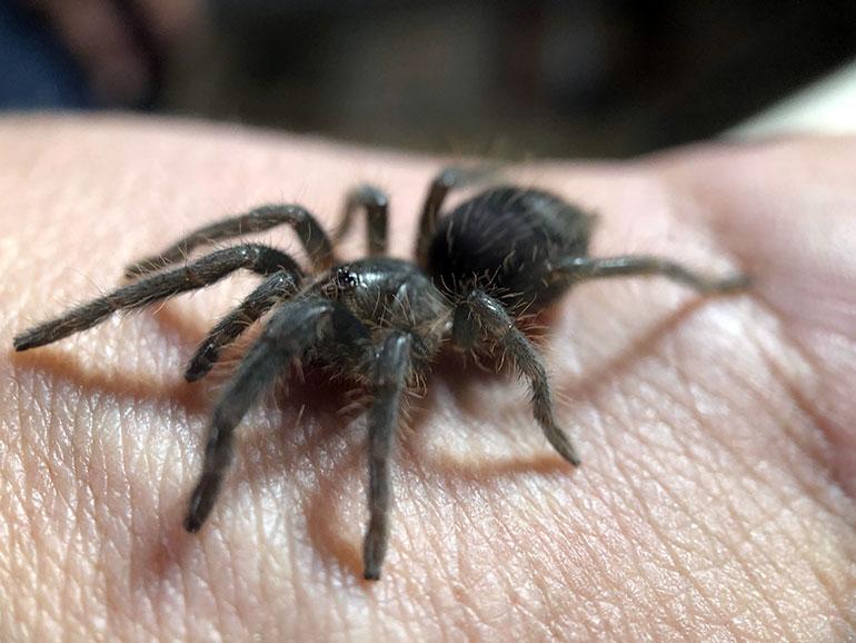 UBCO Lecturer Matt Nelson holds his pet juvenile tarantula.