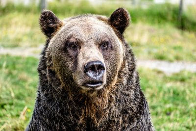 UBC study examined 40 years of data following the fate of 2,500 grizzly bears.