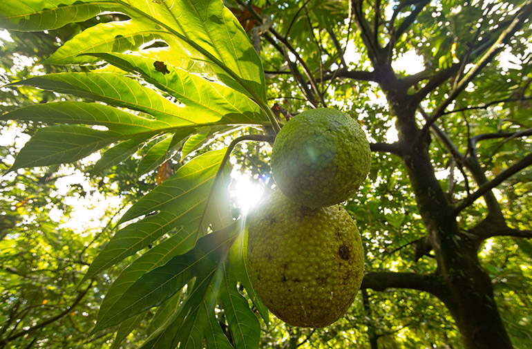 UBC Okanagan researchers say breadfruit is nutritionally sound and has the potential to improve worldwide food security issues. Photo credit Jan Vozenilek, Copper Sky Productions, Kelowna.