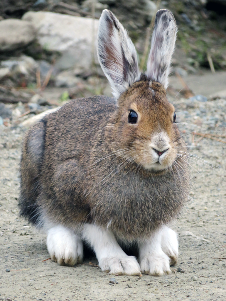UBCO researchers say post-fire salvage logging removes important regenerating habitat for a variety of species including the snowshoe hare. Photo credit Angelina Kelly.