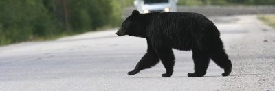Conservationists have long warned of the dangers associated with bears becoming habituated to life in urban areas. Yet, it appears the message hasn't gotten through to everyone.