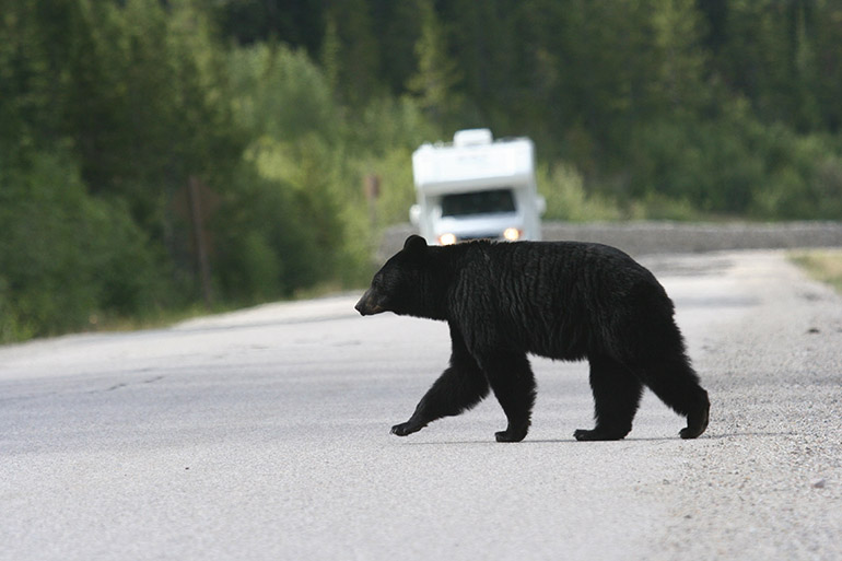 UBCO researchers used computer modelling to simulate the movement of black bears and identify what attracts them to populated areas.