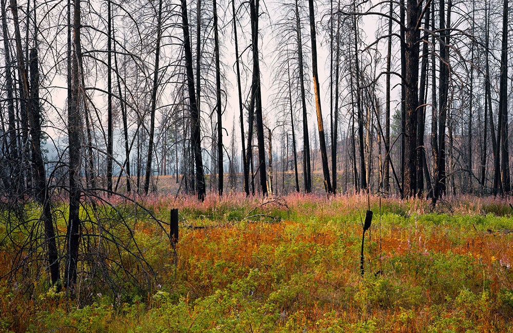 Fireweed at the Kettle River Recreation Area, three years after a 2015 fire