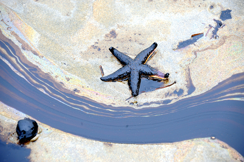 A photo of a starfish and oil spill